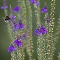 Bee, Pine Gardens, St. Margarets Bay