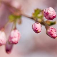 Budding Blossom
