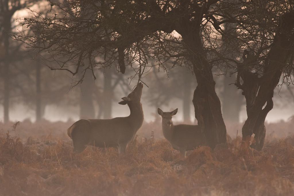 Two Red Deer, Bushy Park
