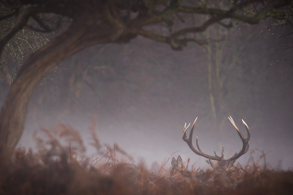 Antlers, Red Deer Stag, Bushy Park
