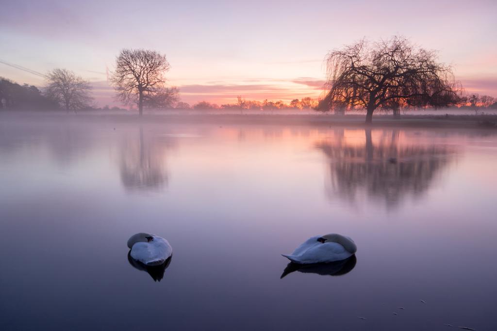 Swans, Heron Pond, Bushy Park