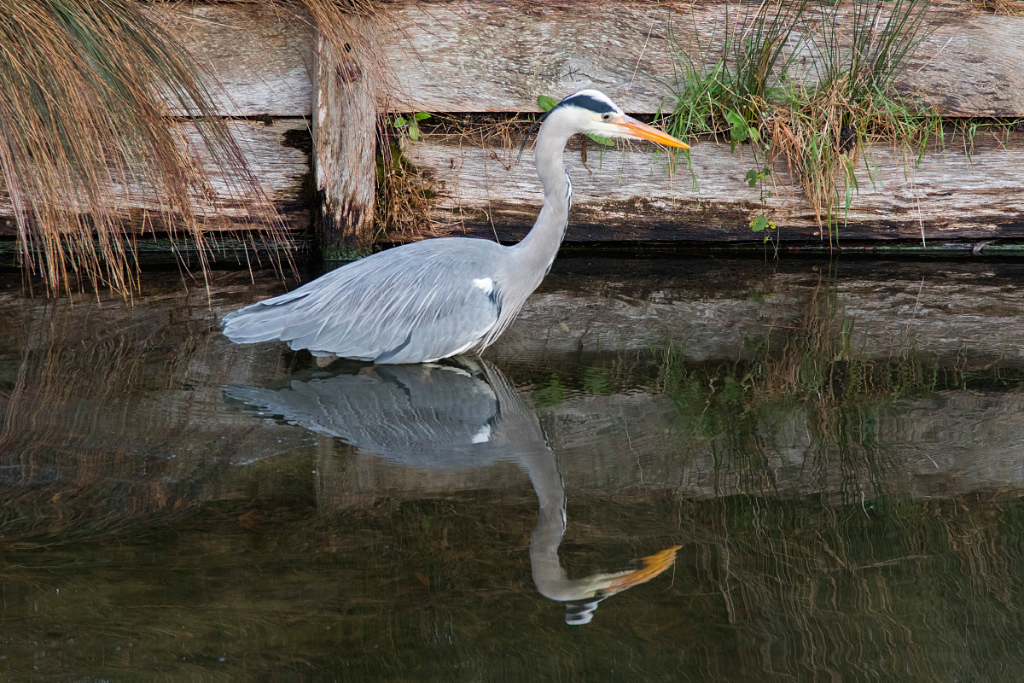 Heron Reflection, Bushy Park
