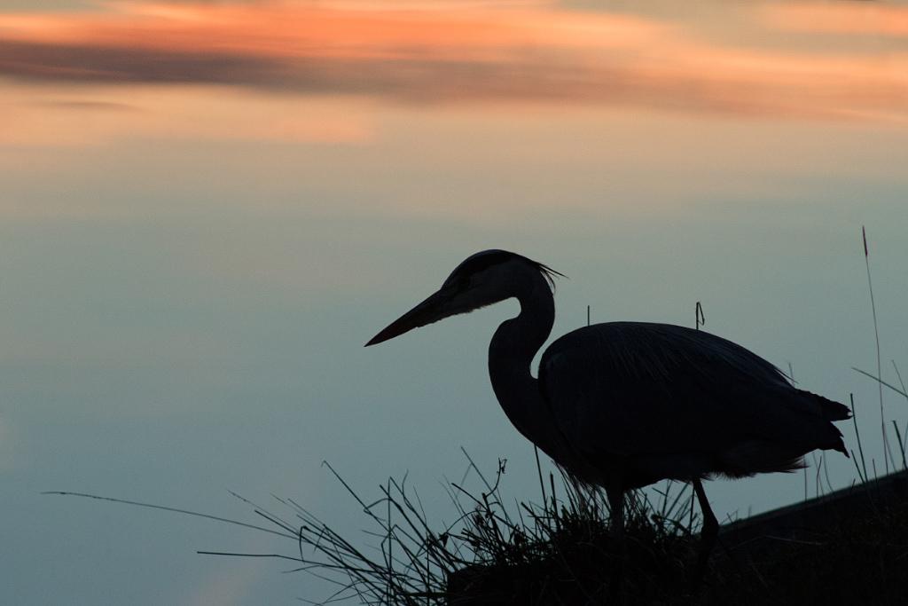 Heron Silhouette, Bushy Park