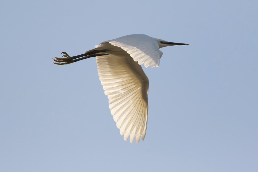 Little Egret, Bushy Park