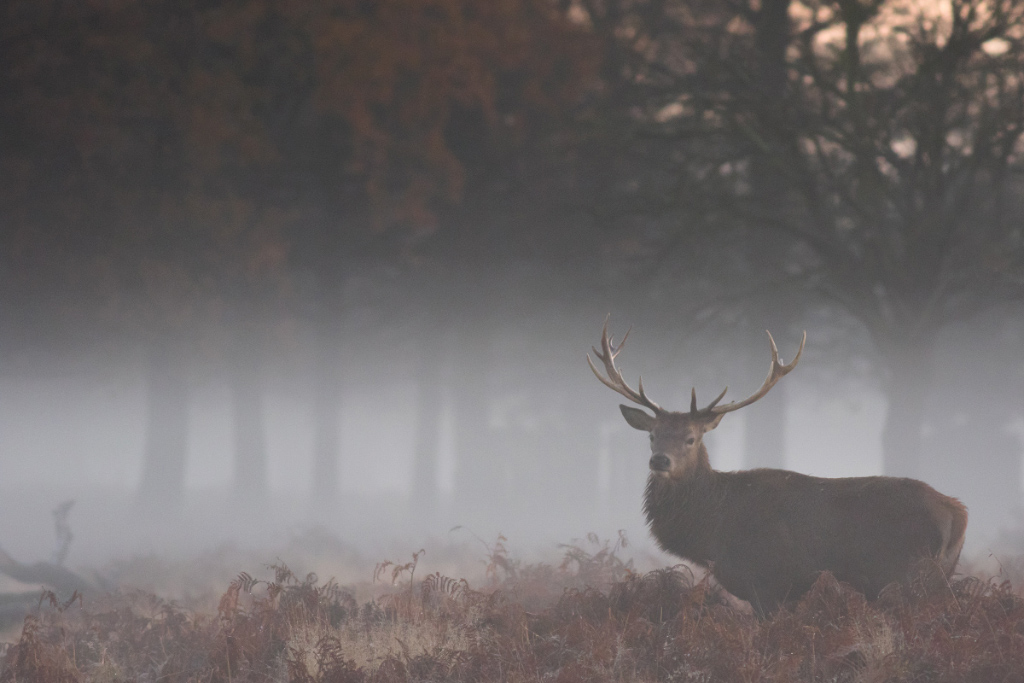 Red Deer Stag in the Mist, Bushy Park