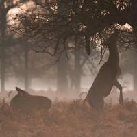 Red Deer on Hind Legs, Bushy Park