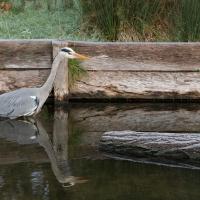 Heron Fishing, Bushy Park