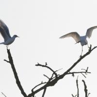 Little Egret and Gull, Bushy Park