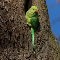 Parakeet, Bushy Park