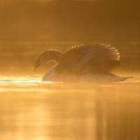 Swan in the Mist II, Heron Pond, Bushy Park