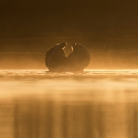 Swan in the Mist, Heron Pond, Bushy Park