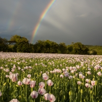 Rainbow over Lilac Poppy Field II
