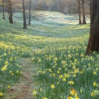 Daffodils, Valley Gardens, Virginia Waters