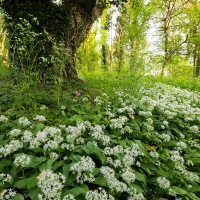 Wild Garlic, Box Hill