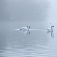 Two Swans in Line