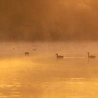Canada Geese in Golden Light