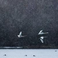 Five Swan Flyby