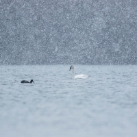 The Swan and the Coot