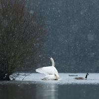 Swan Flapping in the Snow