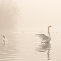 Swan Flapping