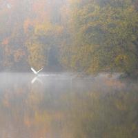 Swan Autumn Take Off