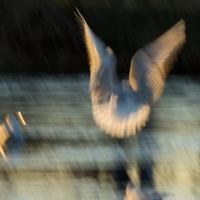 Gull Strokes 12