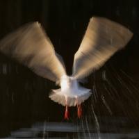 Gull Strokes 3