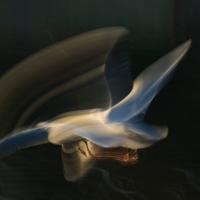 Gull Strokes 4