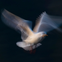 Gull Strokes 10