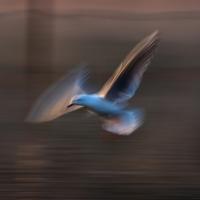 Gull Strokes 9