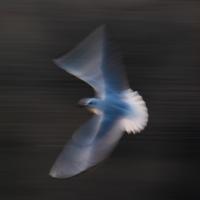 Gull Strokes 8
