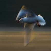 Gull Strokes 7