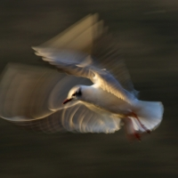 Gull Strokes 11