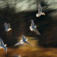 Gull Strokes 13