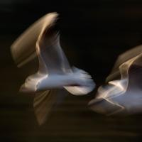 Gull Strokes 5