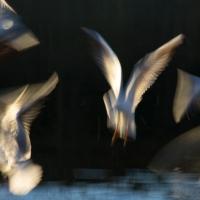 Gull Strokes 6