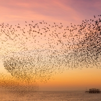 Murmuration over the Old Pier