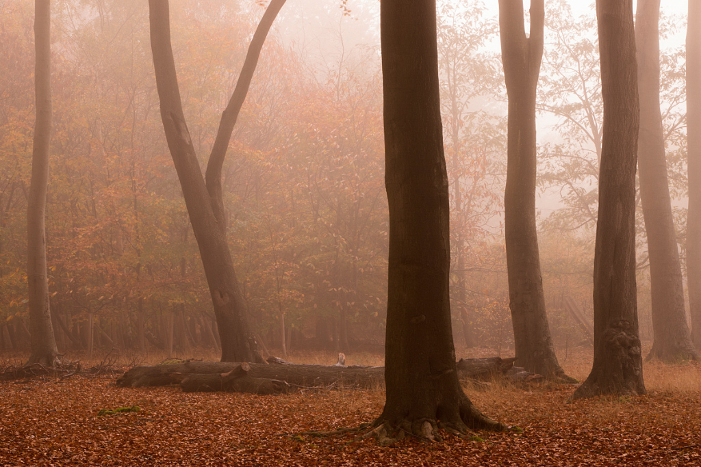 Beech Wood in the Fog I