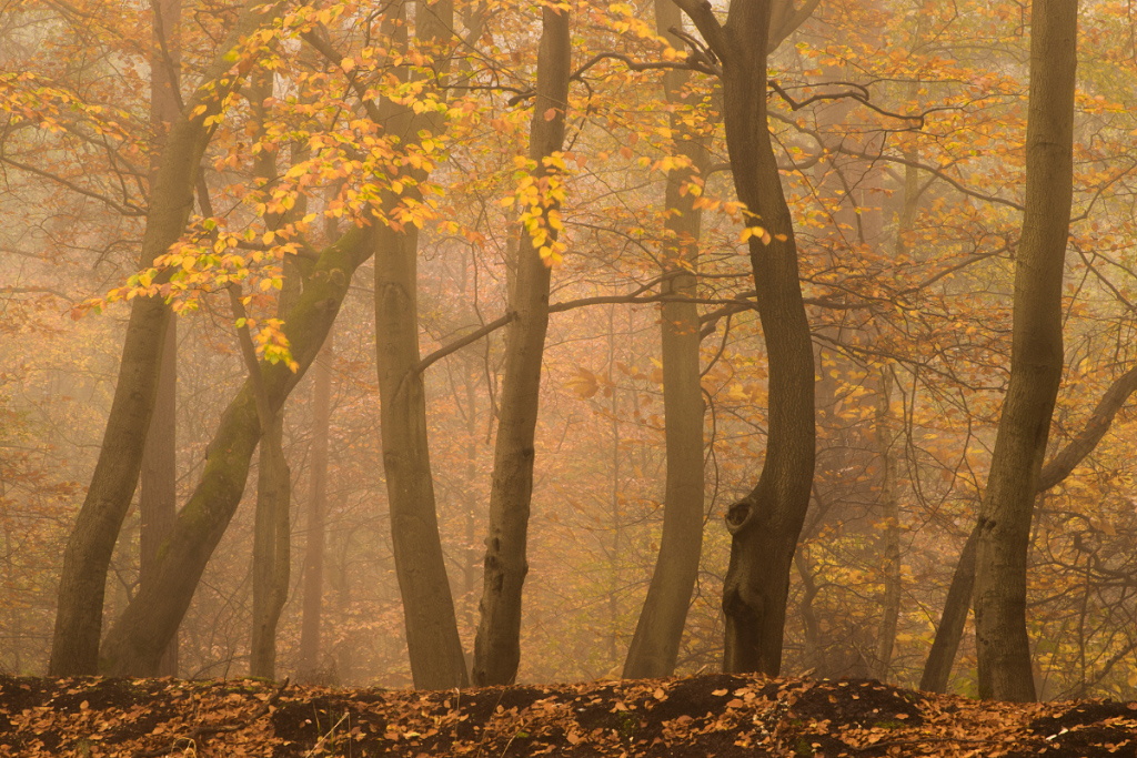 Beech Wood in the Fog IV