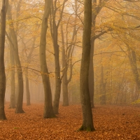 Beech Wood in the Fog V