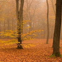 Beech Wood in the Fog VI