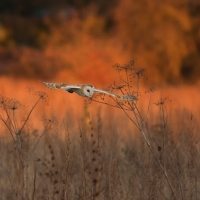 Barn Owl in Evening Light III, Papercourt Meadows