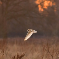 Barn Owl in Evening Light II, Papercourt Meadows