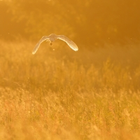 Barn Owl with Vole, Papercourt Meadows
