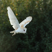 Barn Owl out of the Shadows I, Papercourt Meadows