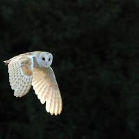 Barn Owl out of the Shadows II, Papercourt Meadows