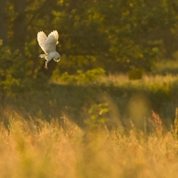 Hovering Barn Owl, Papercourt Meadows