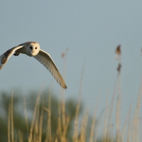 Barn Owl over Reeds I, Papercourt Meadows