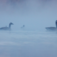 Canada Geese in the Mist, Papercourt Gravel Pits