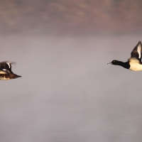 Tufted Ducks in Flight, Papercourt Gravel Pits